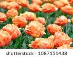 beautiful blooming tulips in... | Shutterstock . vector #1087151438