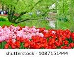 beautiful blooming tulips in... | Shutterstock . vector #1087151444