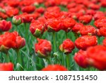 beautiful blooming tulips in... | Shutterstock . vector #1087151450