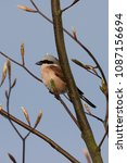 Small photo of Red-backed Shrike on a branch, close-up