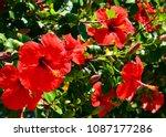Red Hibiscus Flowers  China...