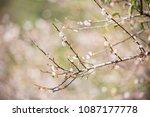 chinese plum tree  blooming... | Shutterstock . vector #1087177778