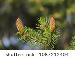 close up young green conifer... | Shutterstock . vector #1087212404