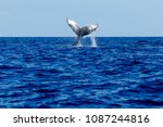 humpback whale tail slapping in ... | Shutterstock . vector #1087244816