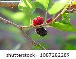 Blackberries On The Branch