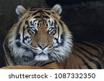 the face of a sumatran tiger ... | Shutterstock . vector #1087332350
