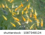 crowd of many different fish... | Shutterstock . vector #1087348124