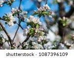 gardens of blooming apples in... | Shutterstock . vector #1087396109
