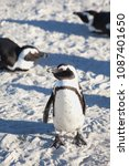 Small photo of African penguin in many postures