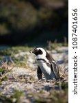 african penguin in many postures | Shutterstock . vector #1087401656