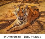 portrail a tiger  panthera... | Shutterstock . vector #1087493018