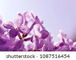 blooming purple lilac flowers... | Shutterstock . vector #1087516454