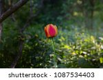 Single Red Tulip In The Forest