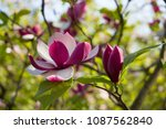 blooming of pink magnolia in... | Shutterstock . vector #1087562840