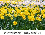 field of blooming  daffodils on ...   Shutterstock . vector #1087585124