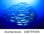 School Of Blackfin Barracuda I...