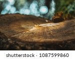 Growth Ring In The Wood Of The...