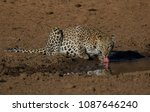 leopard drinking water at sable ... | Shutterstock . vector #1087646240