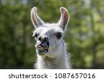 Small photo of Goofy lama pulling a face. Funny llama animal sticking it's tongue out. Humorous meme image
