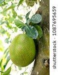 big jackfruit hanging on tree... | Shutterstock . vector #1087695659