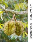 durian fruit on tree in thailand | Shutterstock . vector #1087695674
