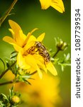 Small photo of Syrphidae fly gathering pollen from a yellow flower