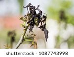 fruit plant is damaged by frost ...   Shutterstock . vector #1087743998
