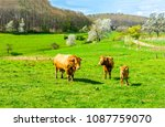cow grazing with cow calfs on... | Shutterstock . vector #1087759070