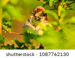 male or female house sparrow or ... | Shutterstock . vector #1087762130