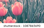 red tulips. faded vintage... | Shutterstock . vector #1087865690