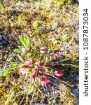Small photo of Spanish valerian, Centranthus calcitrapae, growing in Galicia, Spain