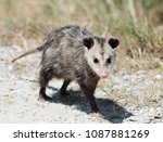 Common Opossum Walking In...