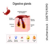 gasric glands. structure of a... | Shutterstock .eps vector #1087919090