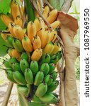 Small photo of Banana ripe on root, this is special ripe banana.