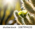 Closeup photo of blooming flowers on a Cholla cactus at sunrise with copy space in blurred background - stock photo