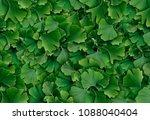 ginkgo biloba leaf background... | Shutterstock . vector #1088040404
