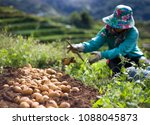 A Farmer Harvests Her Potatoes...