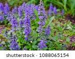 carpet bugle weed  ajuga... | Shutterstock . vector #1088065154
