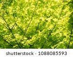 Maple Acer Princeton Gold...