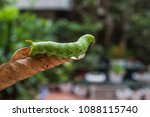 the worm before becoming a... | Shutterstock . vector #1088115740