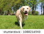 beautiful labrador is walking... | Shutterstock . vector #1088216543