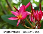 plumeria is a genus of... | Shutterstock . vector #1088240156