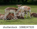 Small photo of Female fallow deers (dama, dama) on the meadow. Phtography of wildlife.