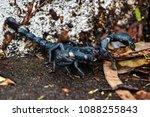 Large Black Scorpion  Closeup...