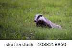 a happy badger  meles meles  in ... | Shutterstock . vector #1088256950