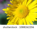 yellow flower close up | Shutterstock . vector #1088262206