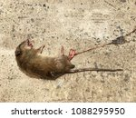 one dead rat was lying on a... | Shutterstock . vector #1088295950