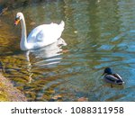 white swan and drake on a... | Shutterstock . vector #1088311958
