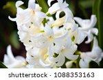 hyacinthus orientalis flower on ...   Shutterstock . vector #1088353163
