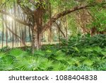 amazing banyan tree branches.... | Shutterstock . vector #1088404838
